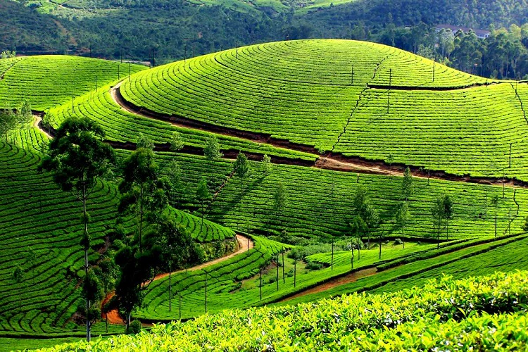 munnar-tea-garden-kerala