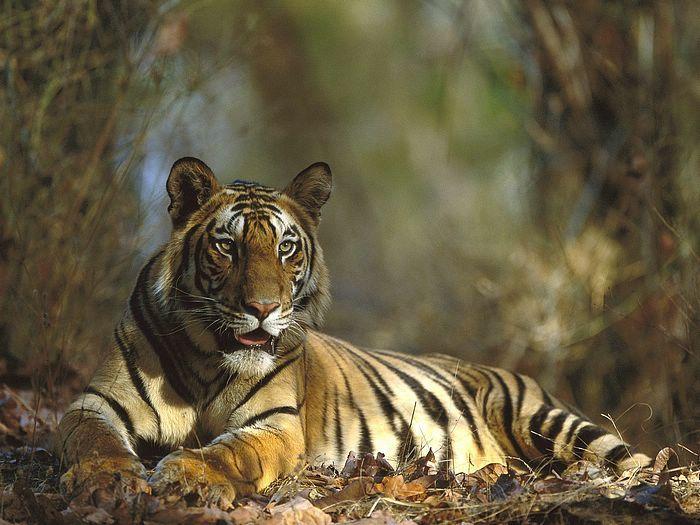 Bengal-Tiger-Resting-Bandhavgarh