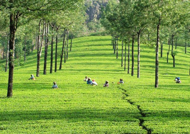 Tea-Estates-in-Munnar