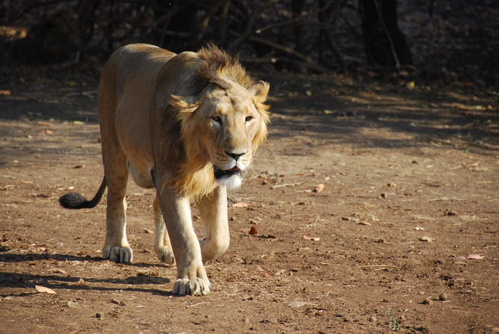 Asiatic Lion, Gir National Park