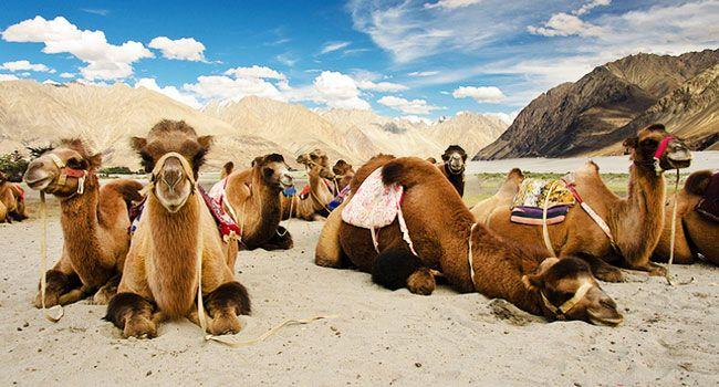 Camel Safari, Ladakh