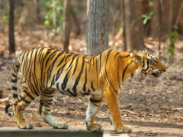 tiger-at-Manas-National-Park