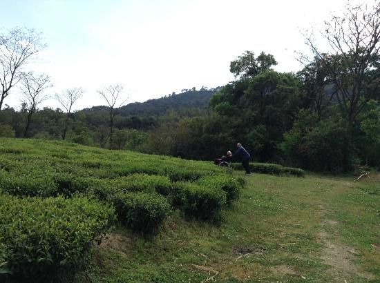 Darang Tea Estate is one of the most popular tea plantations in Himachal Pradesh