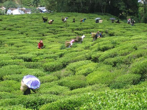 Explore Happy Valley Tea Estate as India's top Tea Plantations