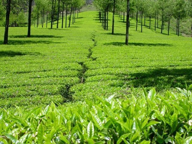 Kanan Devan Hills Plantations in Munnar