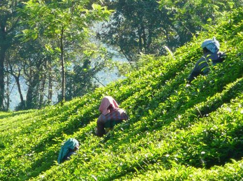 Nilgiri Tea plantations in South India