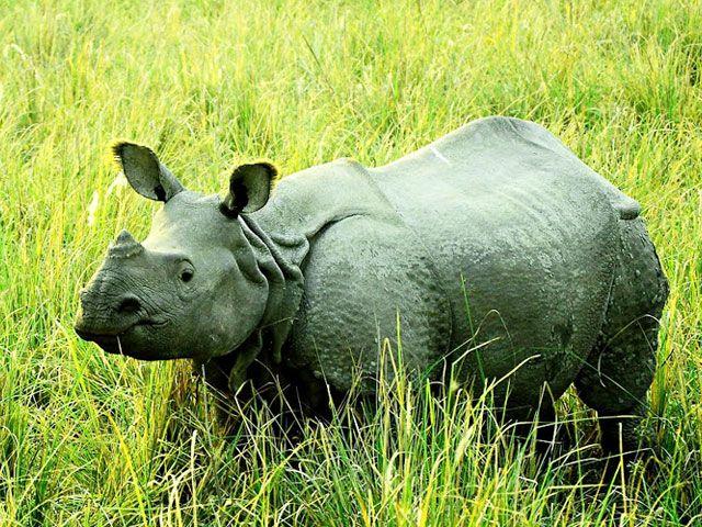 one horned rhino assam