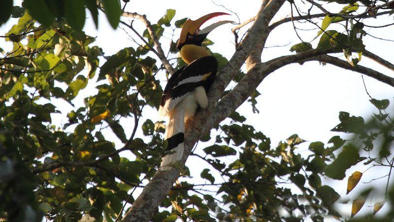 great hornbill at nameri national park