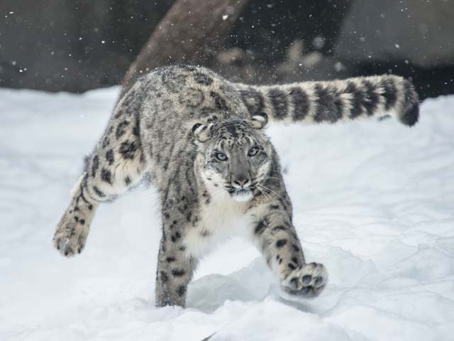 Snow-Leopard-in-Leh-Ladakh