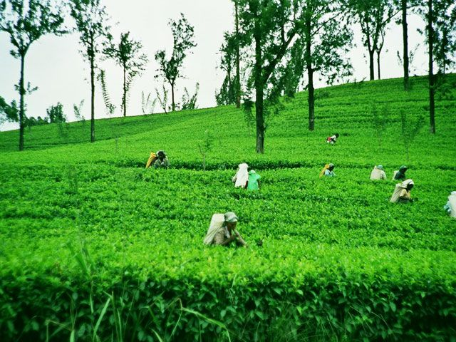 TeaEastates in Sri Lanka