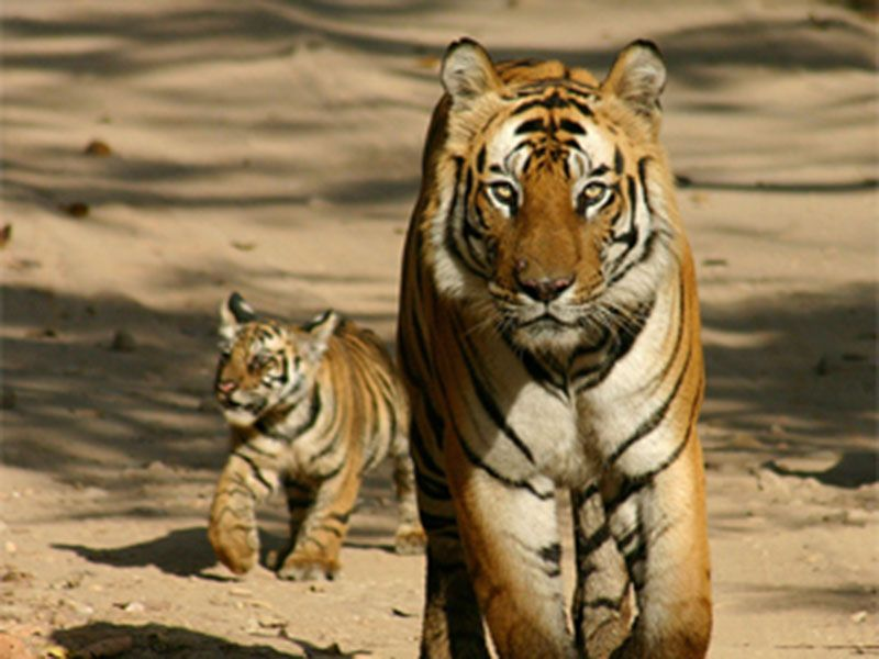 15 Cubs spotted in Pilibhit Tiger Reserve