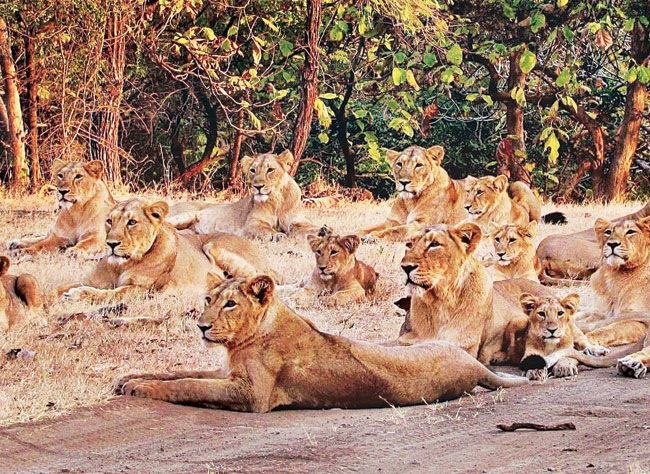 Asiatic Lionesses give birth to 11 cubs in Gir National Park