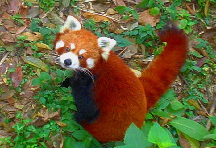 Padmaja-Naidu-Himalayan-Zoological-Park