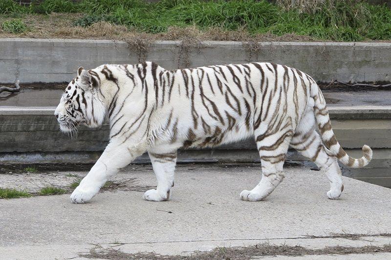 White Tiger Safari India