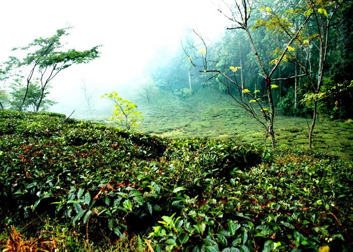 tea-Estate-in-Kausani
