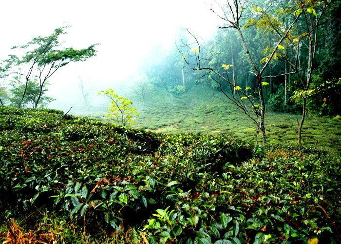 tea-Estate-in-Kausani