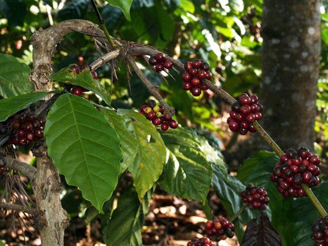 Coffee Plantation Visit
