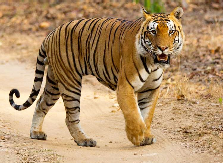 Spotting a Tiger at the Wildlife Parks of India Could Become Easier With the Designated Safari Enclosures