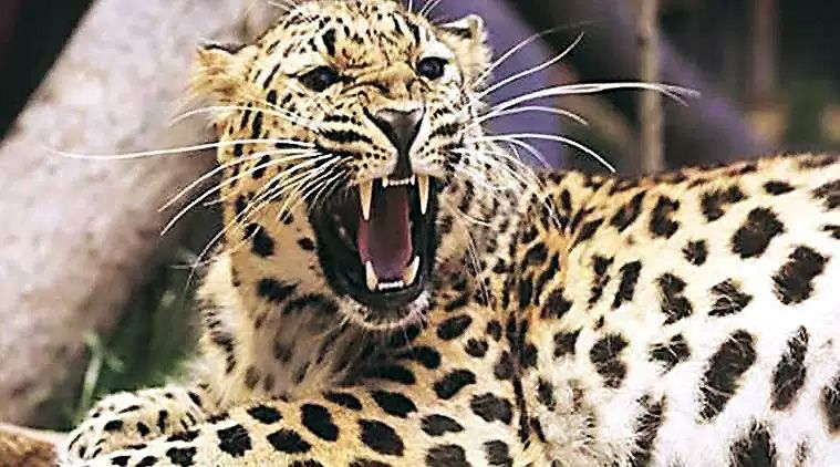 Leopard Safari Parks to Boost Tourism in Southern Areas of Gujarat