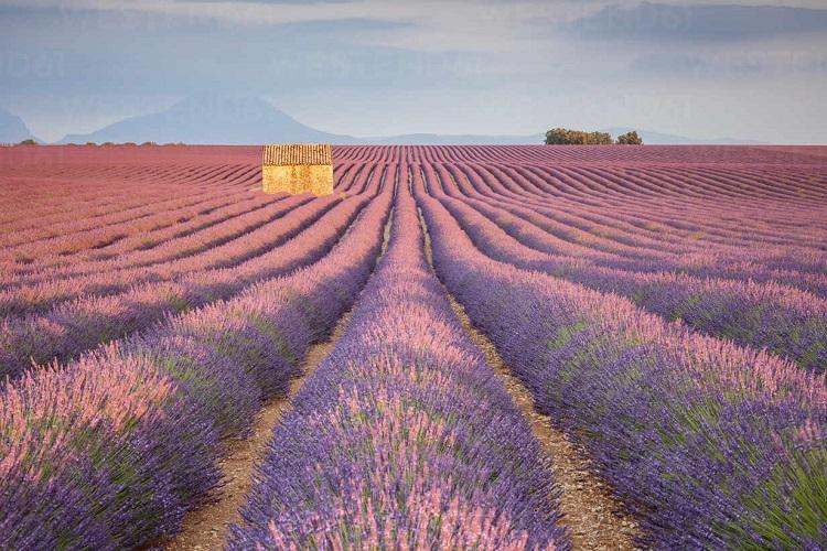 Plateau de Valensole, Alpes de Haute-Provence, France