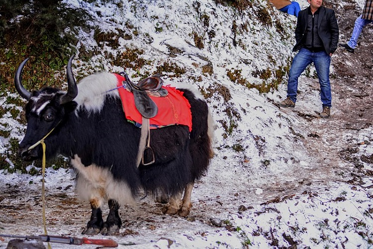 Kufri-Shimla