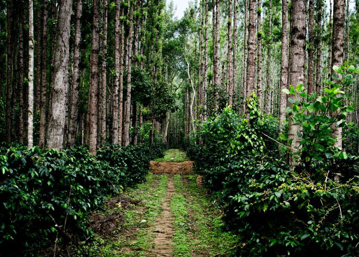 Visit the scenic Coffee Estate in Chikmagalur